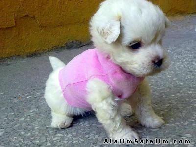 miniature havanese puppies teacup havanese hayvanlar k 246 pek pekinez 0 numara teacup bishon havanese