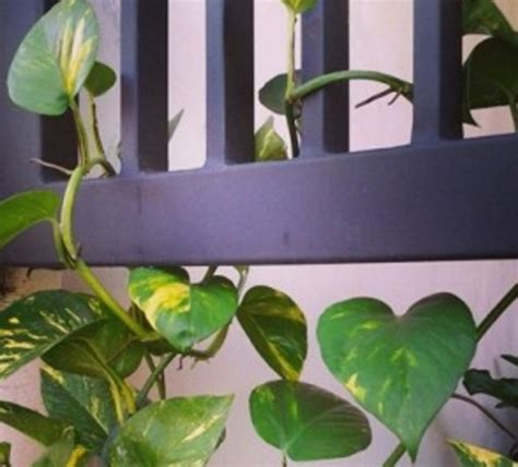 Daun Semi sirih gading tanaman bandel corak daun unik bibitbunga