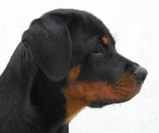 how do rottweilers live for the rottweiler