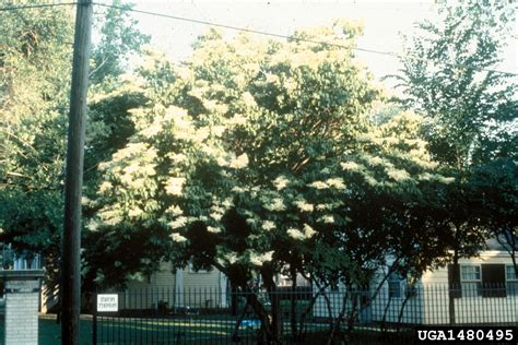 lilac tree information japanese tree lilac syringa reticulata scrophulariales