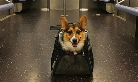 how do dogs carry their puppies new york subway passengers carry their dogs in bags to cope with new rule global times
