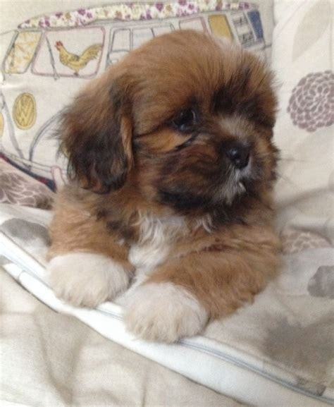 lhasa apso puppies lhasa apso puppy for sale breeds picture