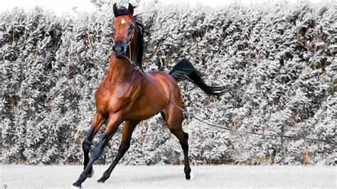 wallpaper hd 1920x1080 horses arabian horse hd wallpaper for mac 2449 amazing wallpaperz