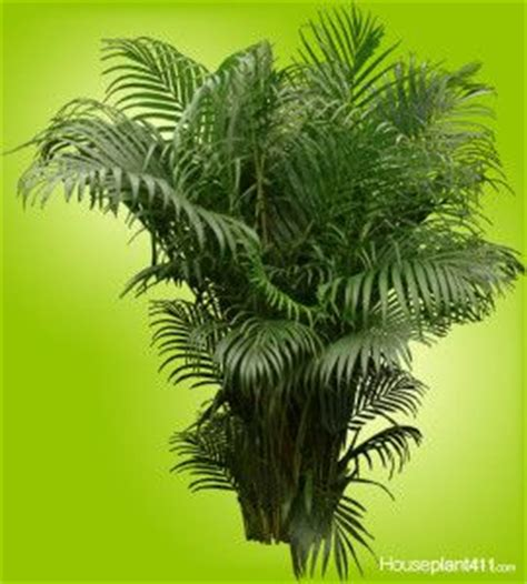 china doll plant poisonous to cats 1000 images about house plant questions on