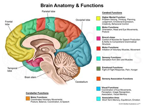 cross section of the human brain biomed illustrations llc medical legal illustration