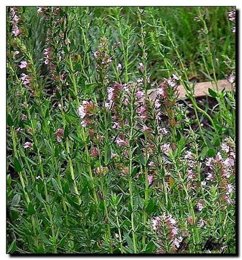 Ysop Pflege by Ysop Hyssopus Officinalis Rosea Pflanzen Enzyklop 228 Die