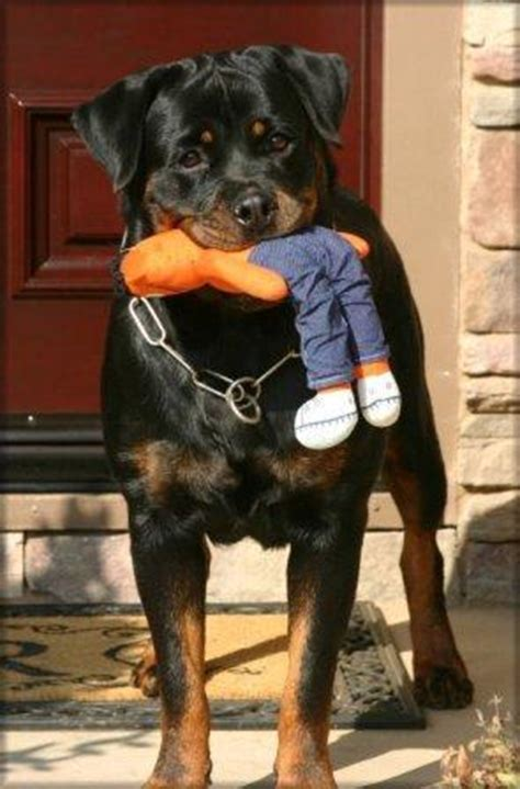 owning a rottweiler who should own a rottweiler ruzich knows