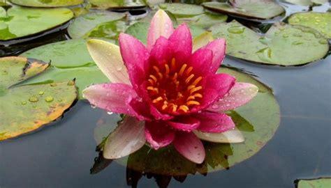 imagenes de flores acuaticas im 225 genes de plantas acu 225 ticas im 225 genes