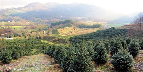 tree farms western nc tree types and how they re grown and harvested in wnc