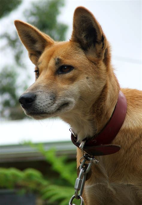 dingo dogs extinct breeds breeds picture