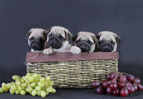 pug screen saver pug wallpaper screensaver background pug puppies pug wallpaper screensaver