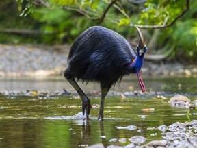 why fly flightless bird mystery solved say evolutionary