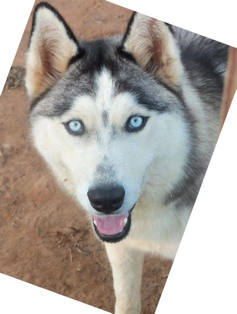 how much are siberian husky puppies sartain s siberians home