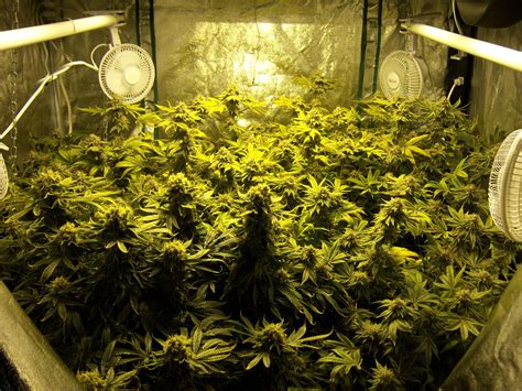 easily grow cannabis at home overwatering vs underwatering reader growing pics 2015 collection grow easy