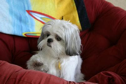potty shih tzu puppies shih tzu information including shih tzu potty and obedience