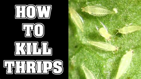 kill thrips pests   garden youtube
