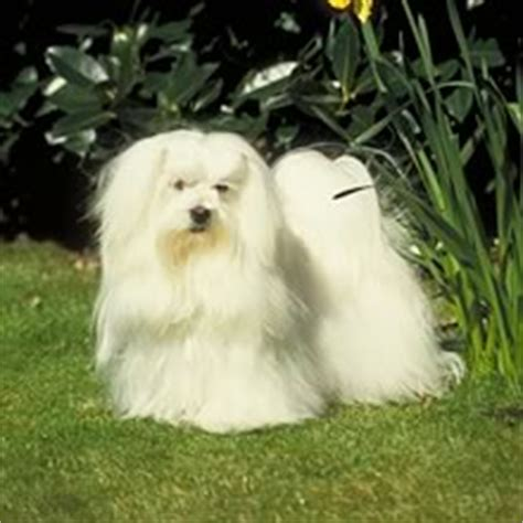 maltese puppies for sale near me maltese poodle puppies for sale near me dogs in our photo