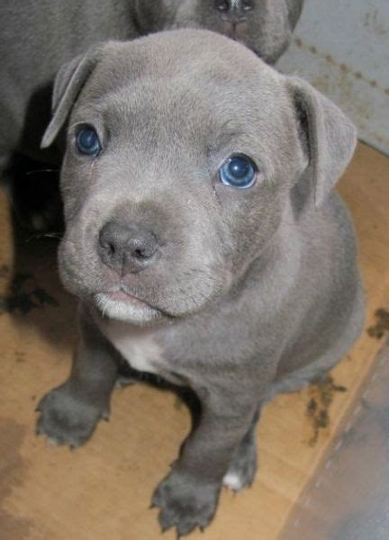 blue staffy 26 best staffordshire bull terrier images on animals pit bulls and dogs