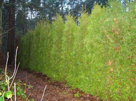 wann schneidet thuja thuja hecke lebensbaum smaragd lebensbaum hecke thuja