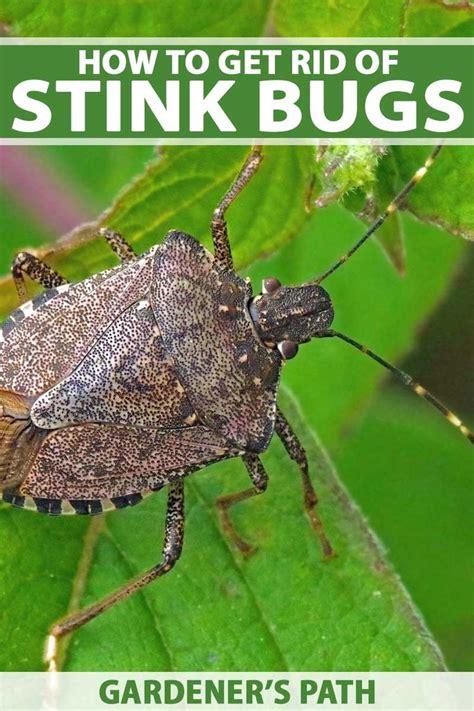 rid  stink bugs   home  garden stink