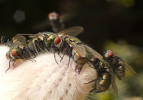 blow flies in house house fly laying eggs www pixshark com images galleries with a bite