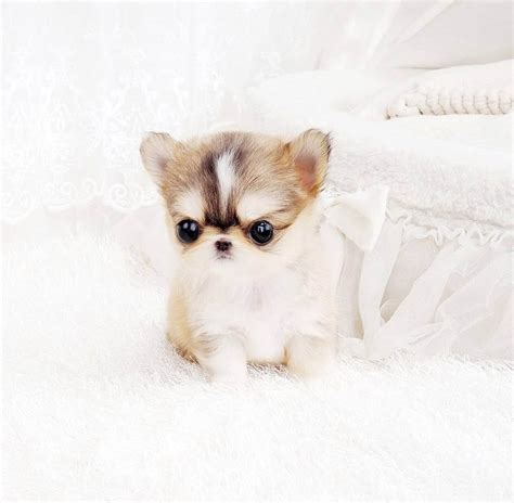 chihuahua puppies houston houston micro teacup hair chihuahua tiny teacup pups designer puppies 1 323