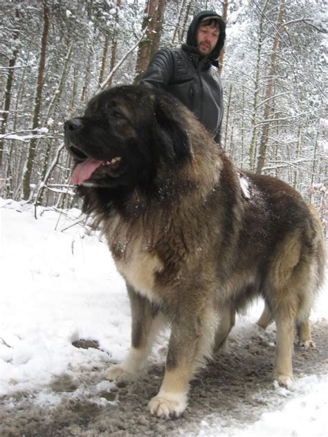caucasian shepherd puppy 1000 images about caucasian shepherd on caucasian mountain dogs to