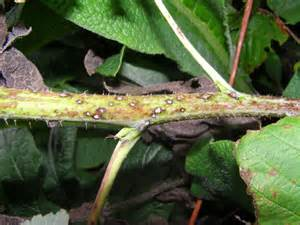 White Spots On Plants Disease - cane diseases fruit yard and garden university of minnesota extension