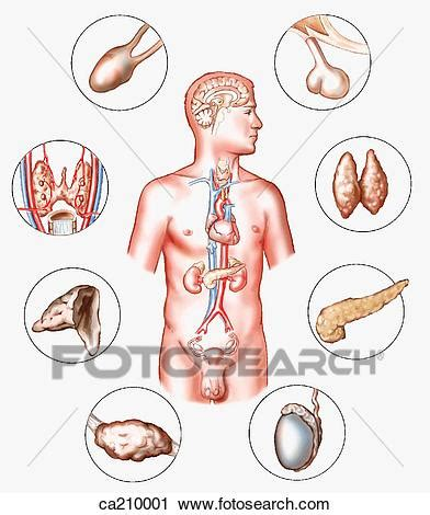 Poster Sistem Endokrin clipart ort dr 252 sen endokrin system ca210001