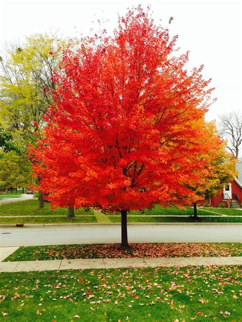 maple tree front yard the 25 best sunset maple ideas on maple tree trees with leaves and