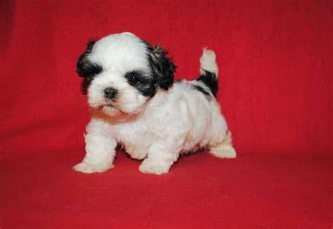 pictures of baby shih tzu puppies best 25 baby shih tzu ideas on