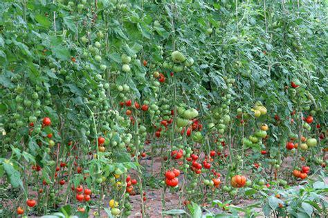 tomato tree nurture world tomato society