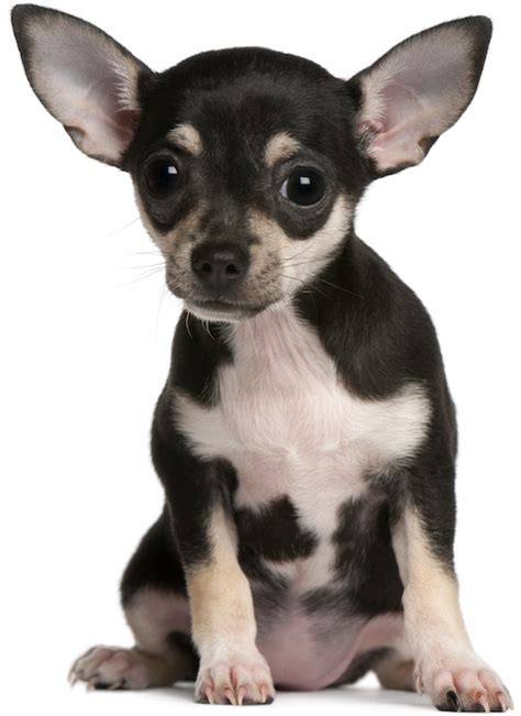 yorkie sick symptoms chihuahua health problems breed chihuahua health problems