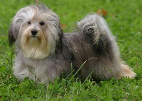 havanese therapy havanese dogs breeds pets