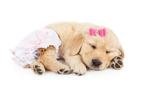 dogs in diapers top 5 best diapers in 2017 for females males and puppies