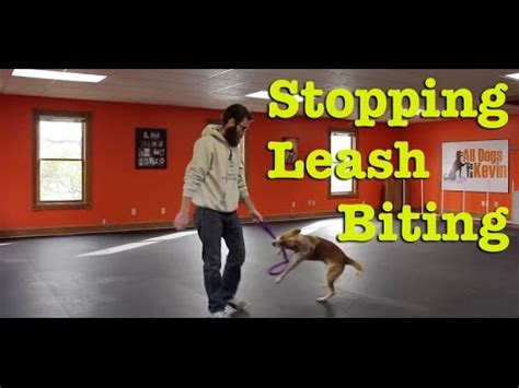 how do i leash my how do i stop my from biting the leash