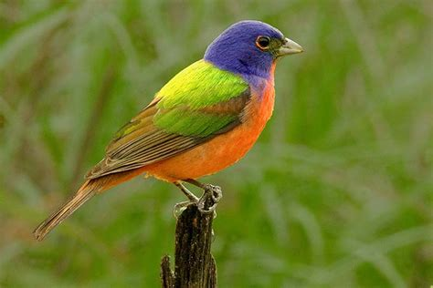 bird of the day the tropical parula and the painted bunting