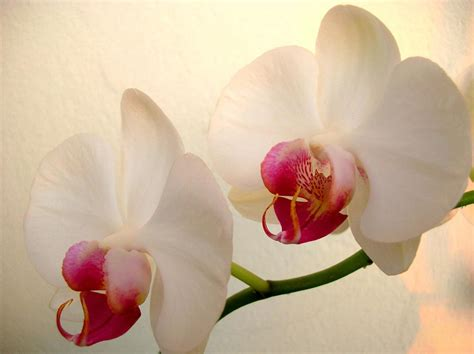 lovely white white orchid lovely flower hd wallpaper flowers wallpapers