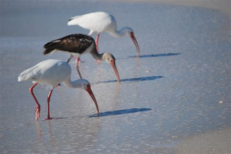 birds of north captiva florida saved from extinction