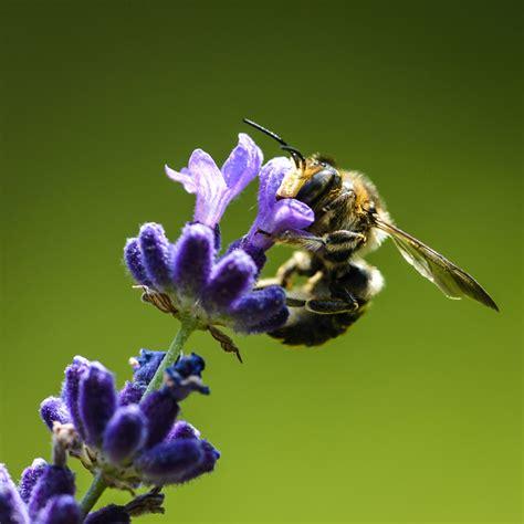 lavender oil bed bugs lavender oil for insect bites enjoy natural health