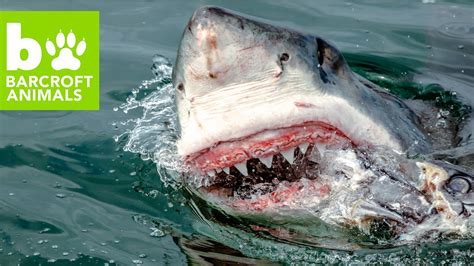 baby shark attack snapped great white shark attacks seal youtube