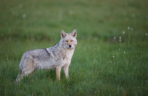 coyote mix is this coyote wolf hybrid taking america animal behaviour earth touch