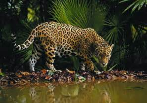 Jaguar Rainforest Facts Jaguars Of Costa Rica