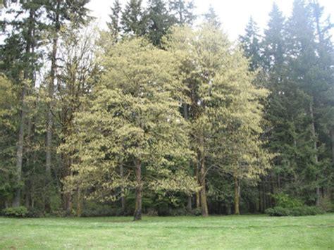 maple tree environment big leaf maple acer macrophyllum plants pnw