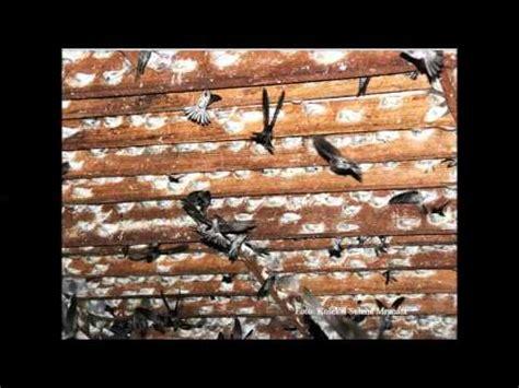 video news full dokumenter industri burung walet indonesia versi arif budiman