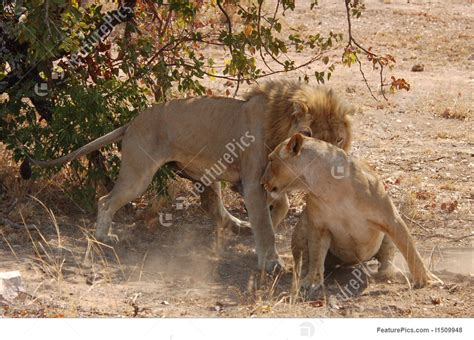 african mating ritualsvideos images of lions mating impremedia net