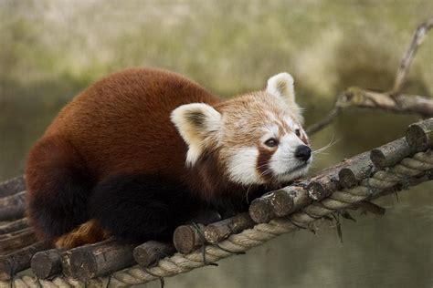read panda panda animal wildlife