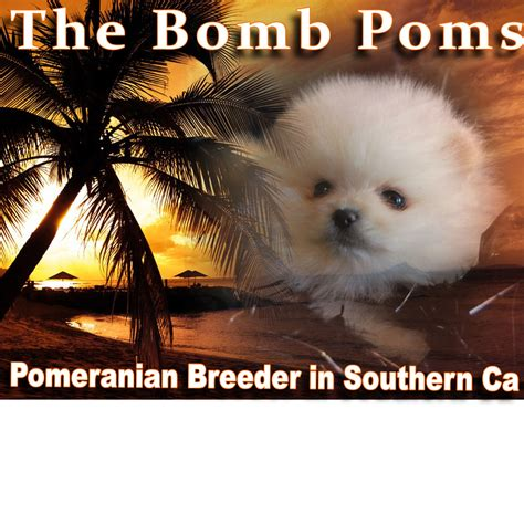 pomeranian breeder california teacup pomeranian puppies for adoption in california
