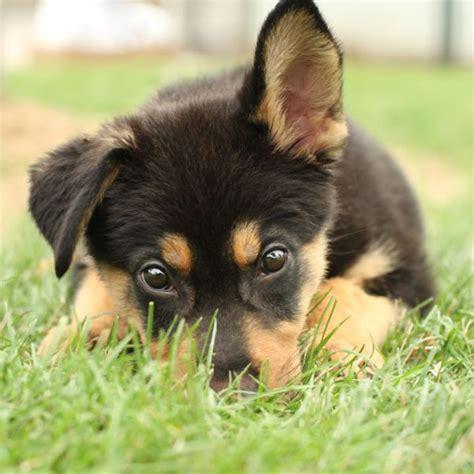 german shepherd puppy tips tips how to buy a healthy german shepherd obedience puppies