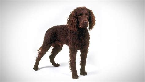 American Water Spaniel : Dog Breed Selector : Animal Planet